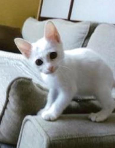 ソファーの上でこちらを見ている猫の写真