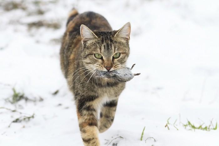 雪の中でねずみをくわえる猫