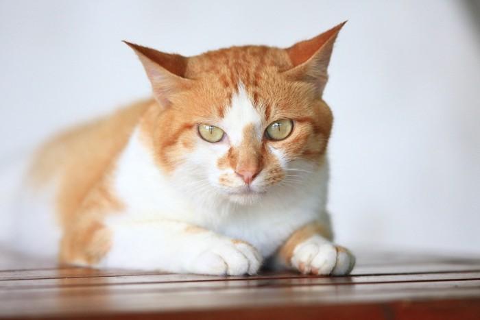 こちらを見つめる茶白猫