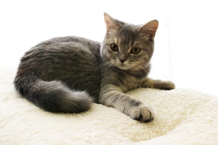 毛布の上でリラックスするブリティッシュショートヘアの子猫
