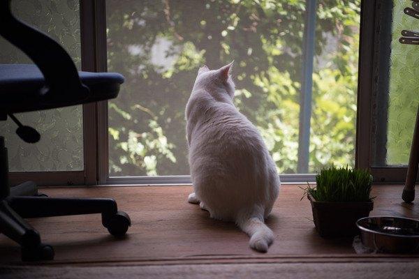 窓に興味を持つ白猫
