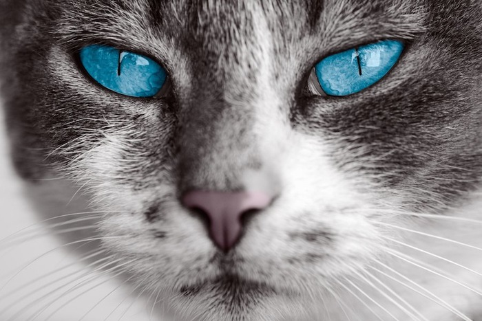 青い瞳の猫の顔アップ