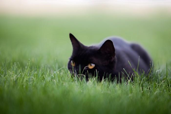 草の中で身を低くして獲物を狙う黒猫