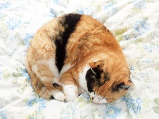 布団の上で丸まる猫