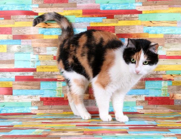 カラフルな壁の前の三毛猫