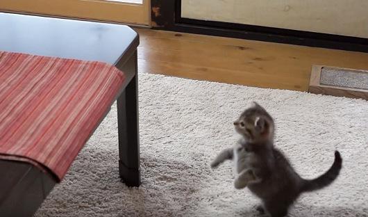 テーブルの上が気になる子猫