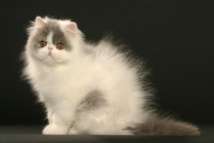 静電気で毛が逆立っている猫