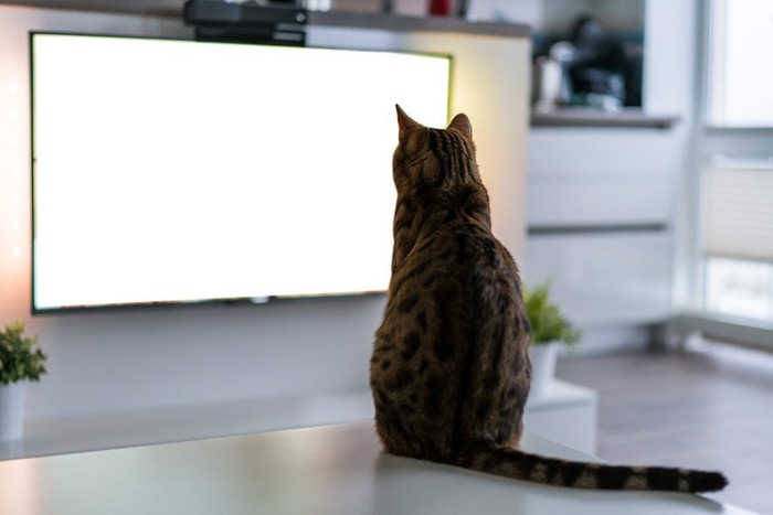 テレビを見る猫