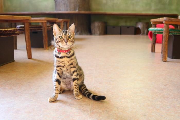 赤い首輪の縞模様子猫