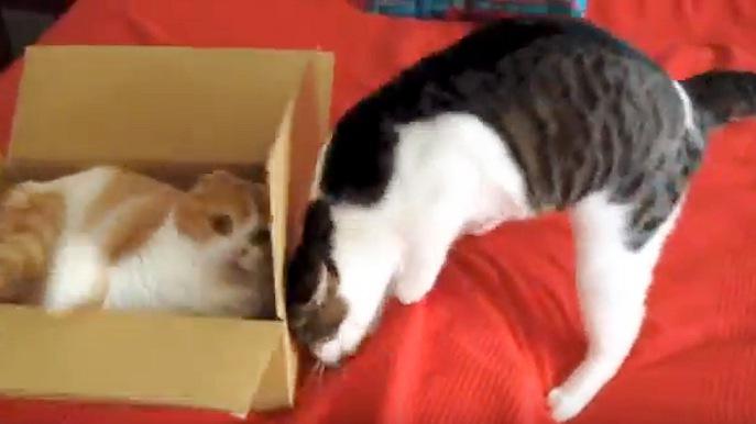 身を乗り出して箱を動かす猫