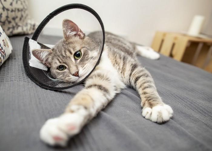 エリザベスカラーをして横たわる猫