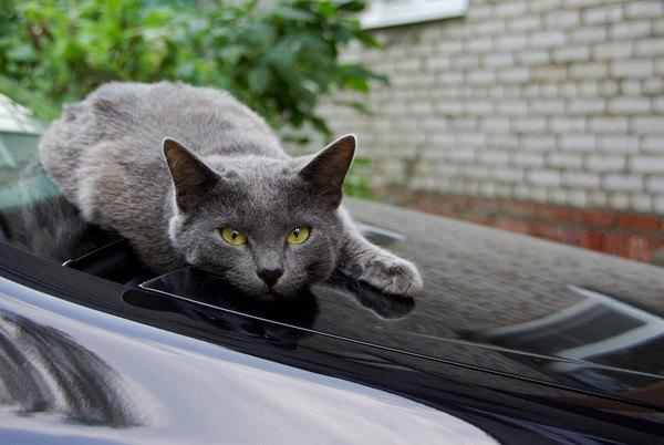 ボンネットの上の猫