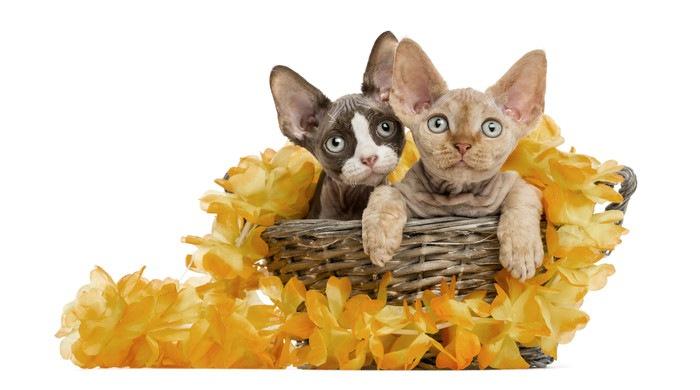 デボンレックスの子猫2匹