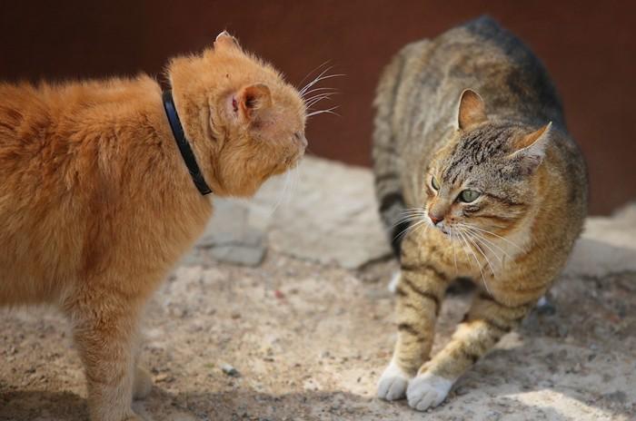 睨み合っている二匹の猫