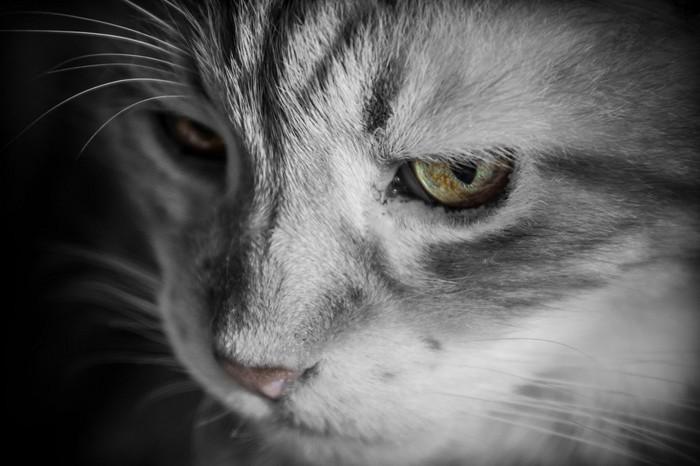 心筋症を患っている猫