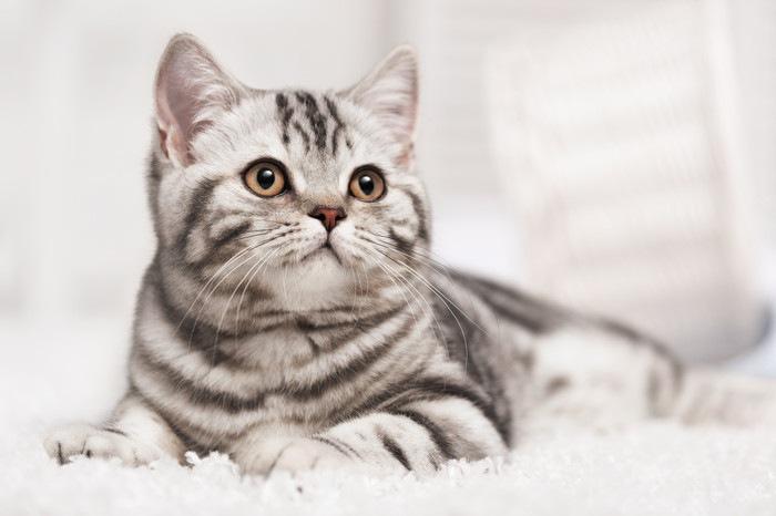 カーペットの上に伏せている猫