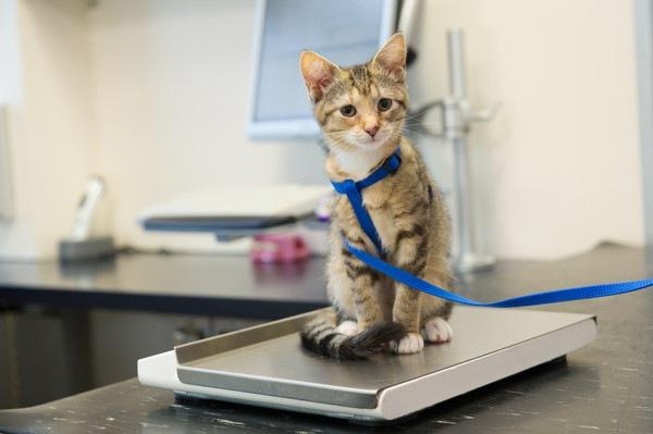 青いリボンをつけた子猫と体重計