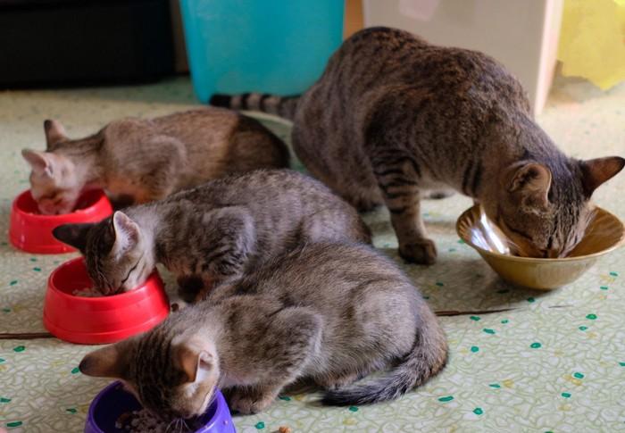 #猫が餌を食べている写真#