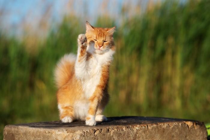 石の上で片手を上げる猫