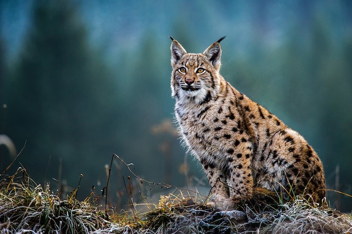 自然の中で佇む山猫