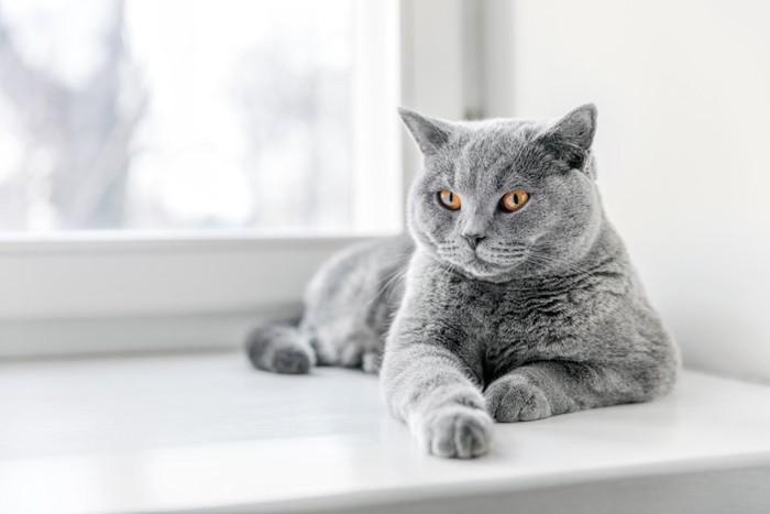 窓辺でくつろぐグレーの猫