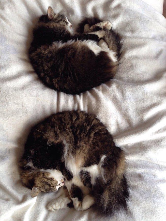 布団の上で丸まって眠る二匹の猫