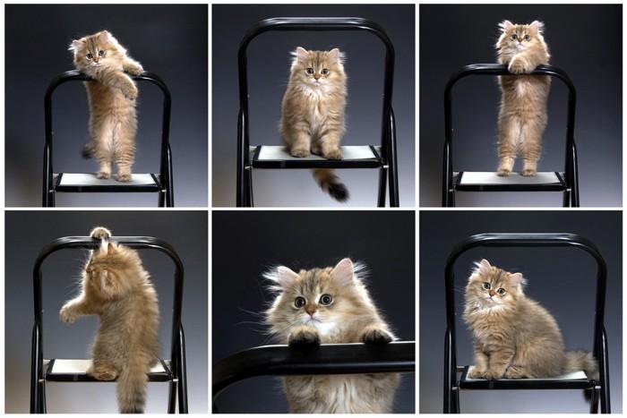 椅子で遊ぶチンチラ