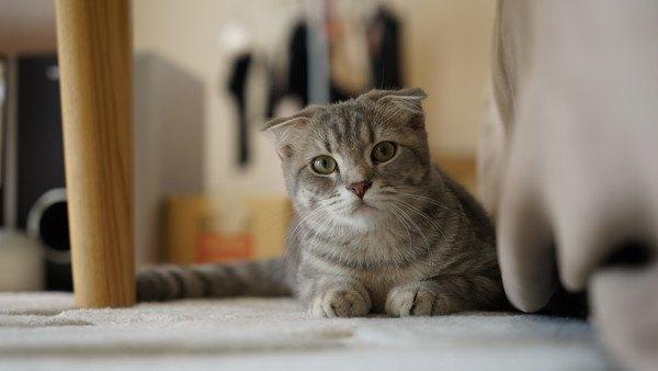 耳を垂らしてこちらを見つめる猫