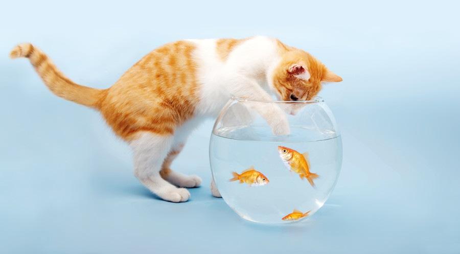 魚を触ろうとする猫