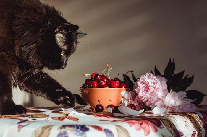 さくらんぼを見つめる猫