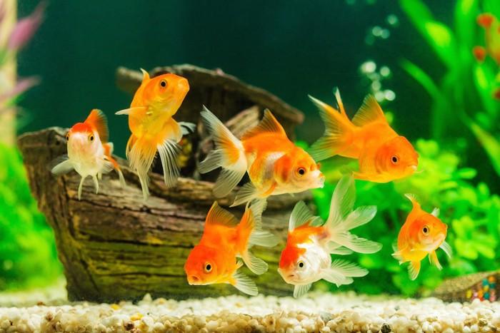 水槽の中のたくさんの金魚