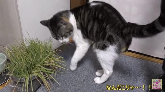 猫草の前で背中を丸める猫