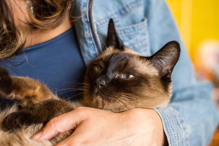 抱っこされるシャム猫
