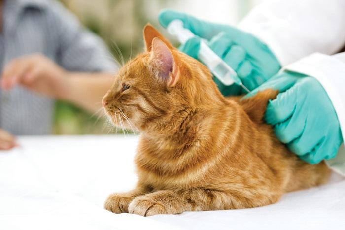 ワクチン接種する茶トラ猫