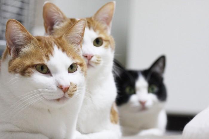香箱座りをする3匹の猫