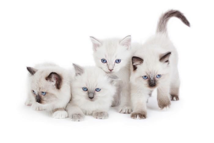 ラグドールの子猫たち