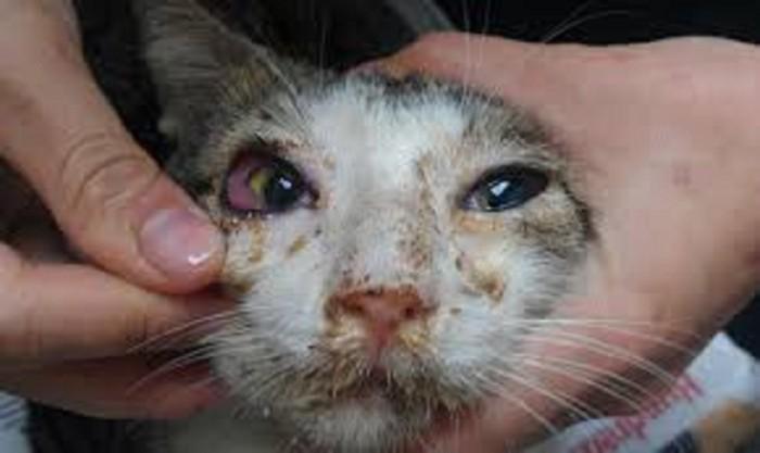猫クラミジアで鼻水と目やにで顔が汚れた猫