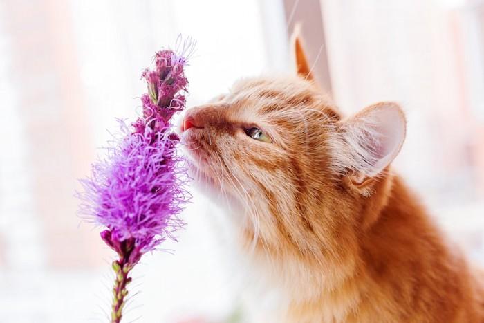 花の匂いを嗅ぐ猫