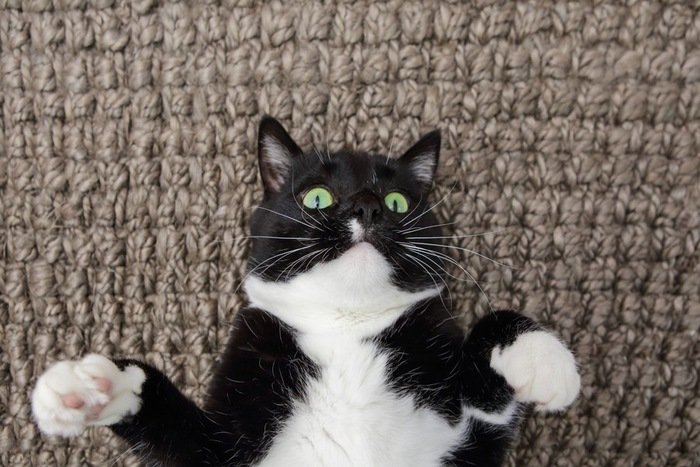 お腹を出す猫