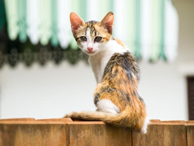 痩せたミケの子猫