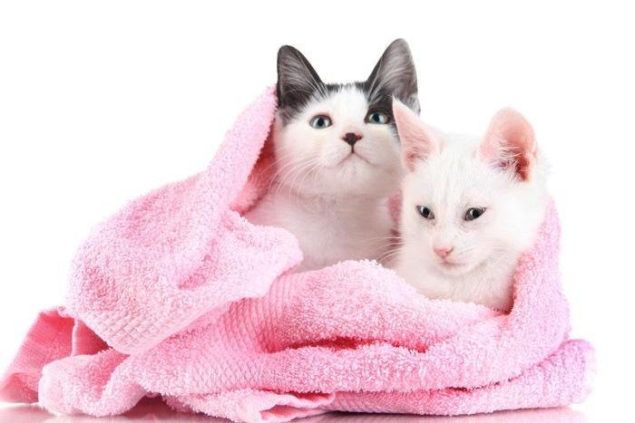 バスタオルに包まれてる2匹の猫