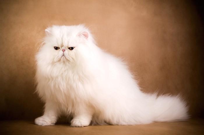 俯き加減のペルシャ猫