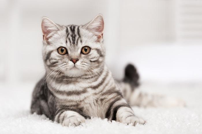 白いカーペットの上で伏せている猫