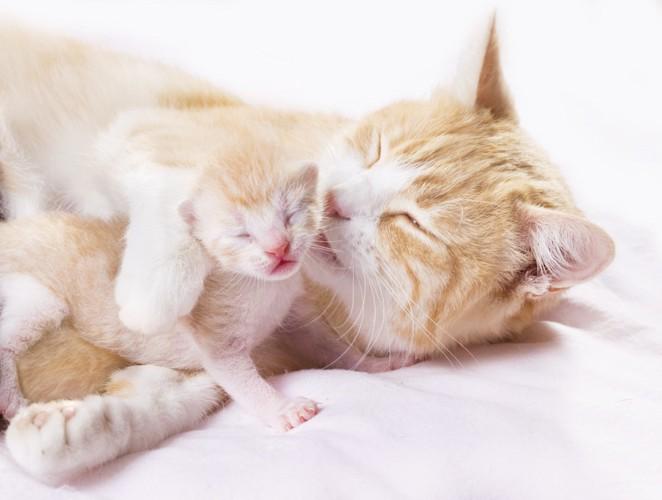 子猫を舐める母猫