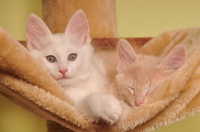 ターキッシュアンゴラの子猫2匹