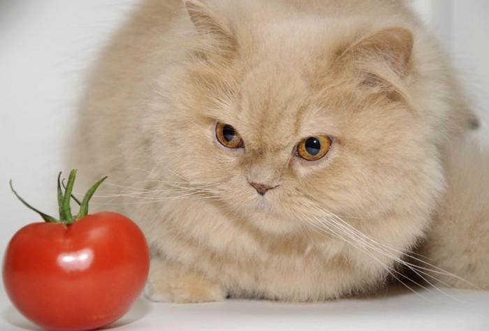 トマトを見る猫