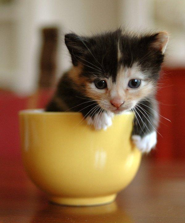 黄色のカップに入る三毛の子猫
