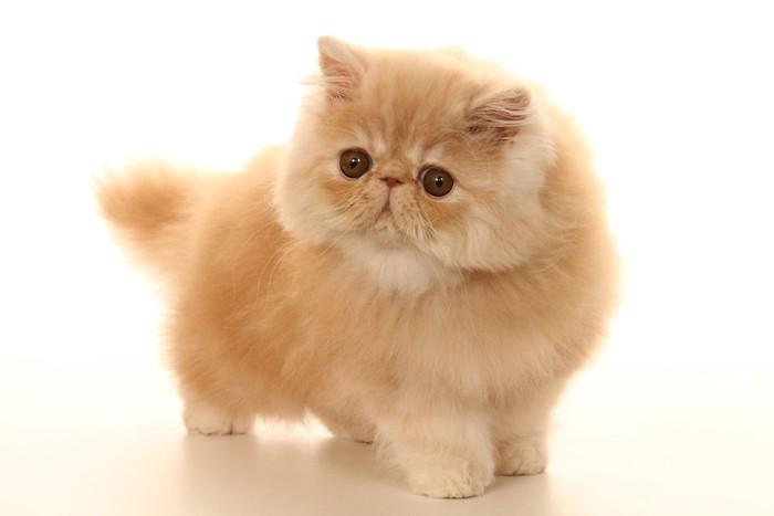 ふわふわの毛並みの子猫
