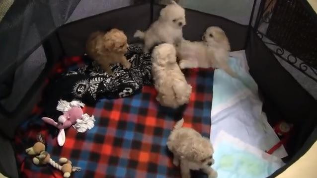 サークルの中で遊ぶ子犬たち
