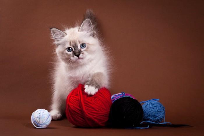 サイベリアンの子猫と毛糸